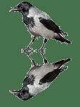 Aaskrähe Corvus corone